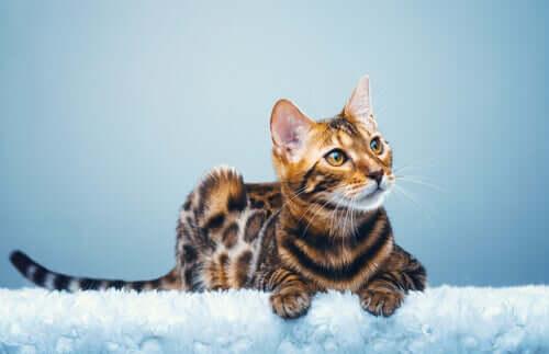 Bengal kedisi, melez bir türdür.