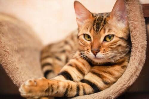 Bengal Kedisi – Çok Özel Bir Melez
