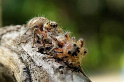 örümcekler, yavruları yemek, yamyamlık