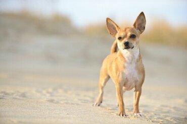 Chihuahua Köpekleri Küçük Evler İçin İdeal