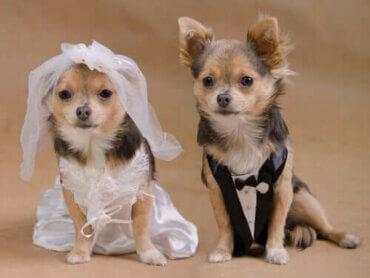 Dört Ayaklı Arkadaşınız İçin Köpek Düğünü Nasıl Yapılır?