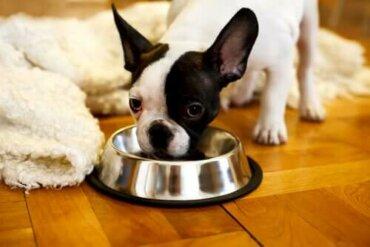 Ev Yapımı Mamalar ile Köpek Beslemek