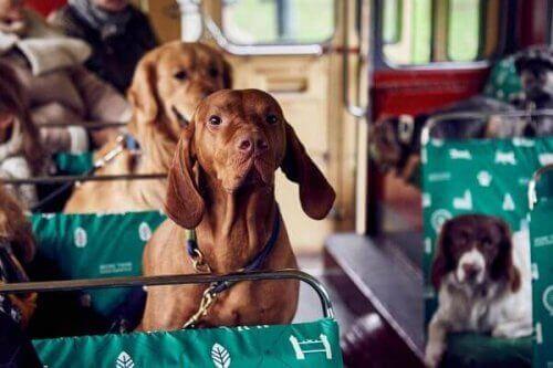 Londra'da Köpekler İçin İlk Tur Otobüsü