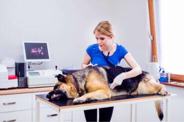 Köpeklerde İrritabl Bağırsak Sendromu: Nedenleri ve Belirtileri