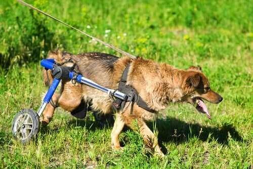 Köpekler için Tekerlekli Sandalyeleri Keşfedin