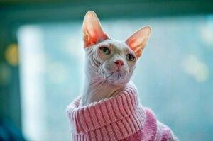 Kazak giyen bir kedi