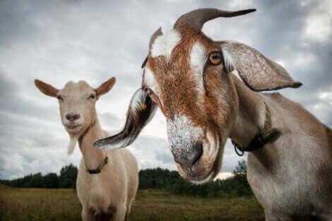 keçiler ve etoloji