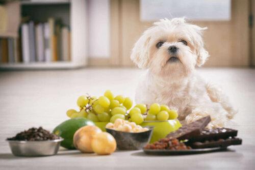 Önünde pek çok yiyecek bulunan bir köpek.