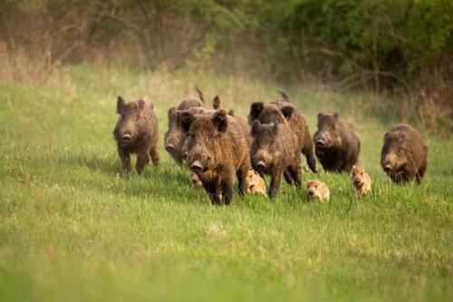 Koşan yaban domuzları.