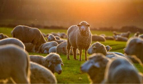 Gün batımı sırasında otlayan bir koyun sürüsü.