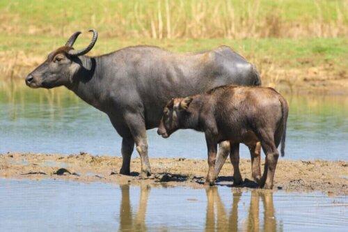 Mandalar ve Çiftlik Hayvanları: Yeni Bir Simbiyoz