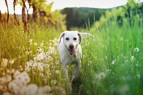Dili dışarıda tasmasız dolaşan köpek