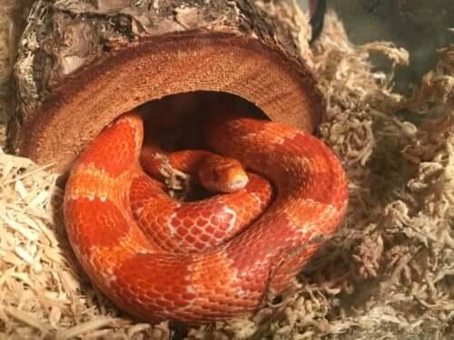 mısır yılanı bakımı