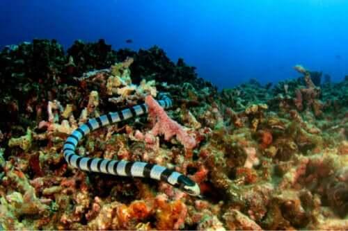 Deniz Yılanlarının Sınıflandırılması