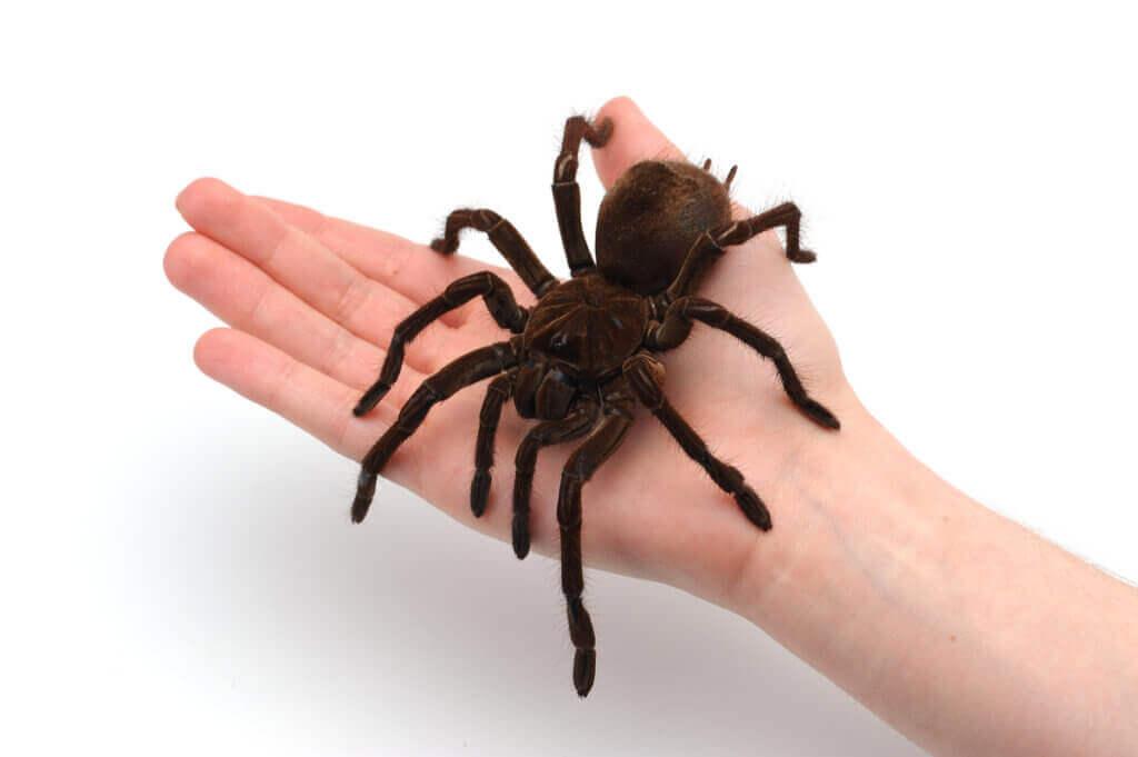 Dev Tarantulalar İle İlgili İlginç Gerçekler