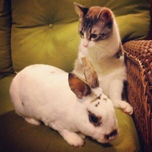 Bir tavşan ve kedi