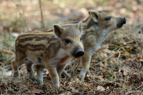 Evcil Olarak Yaban Domuzu Yetiştirilmesi
