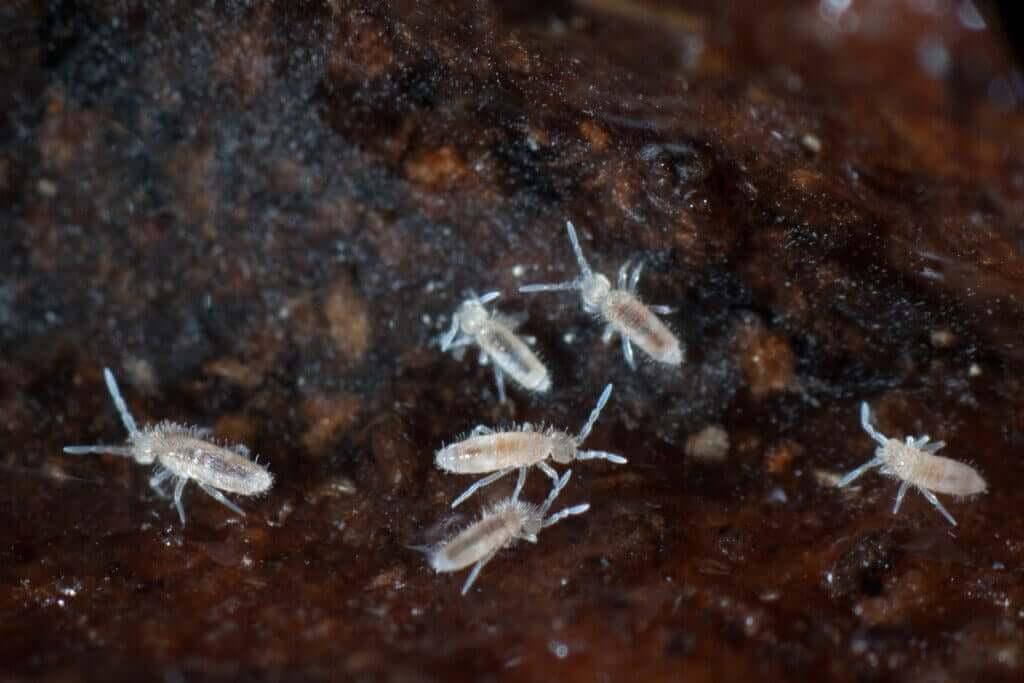 Yay Kuyruk Böceği Teraryumların Temizlenmesine Nasıl Yardımcı Olur?