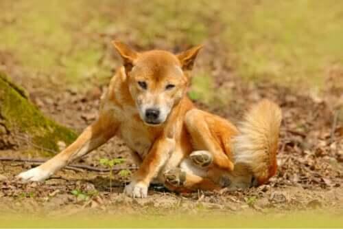 Yeni Gine Şarkıcı Köpeği Hala Hayatta