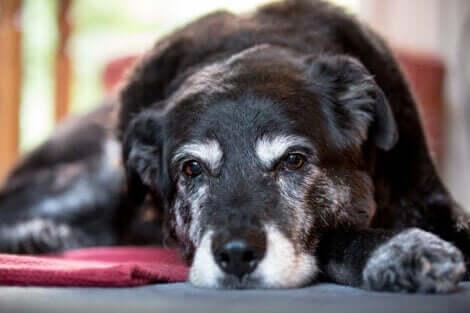 uzanan yaşlı köpek