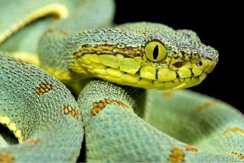 Zehirli bir yılan.