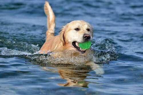 Ağzında yeşil topla yüzen köpek