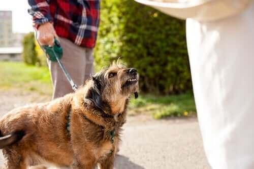 Gezdirilirken rastladığı kişiye hırlayan köpek