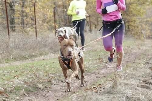 Köpek Leia İle Tanışın: Bir Canicross Şampiyonu