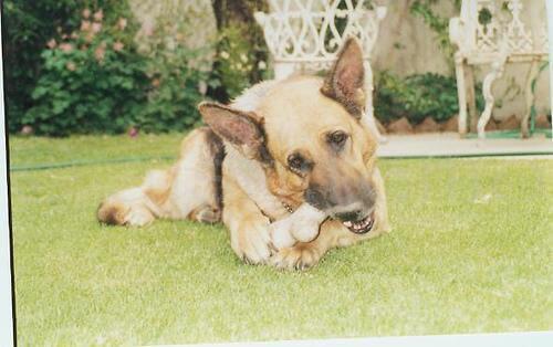 köpek ve kemikleri çimlerde