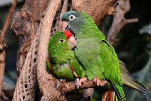 Birbirlerinin tüylerini düzelten iki cennet papağanı