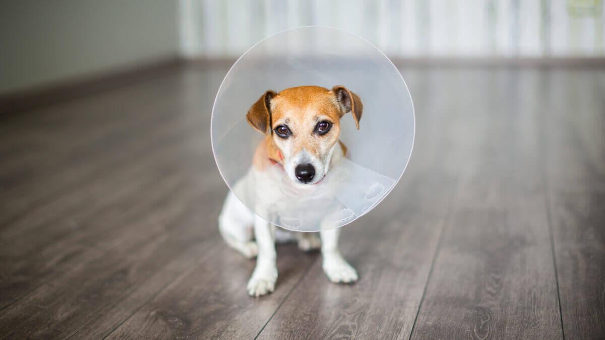 köpeklerde ameliyat sonrası bakım