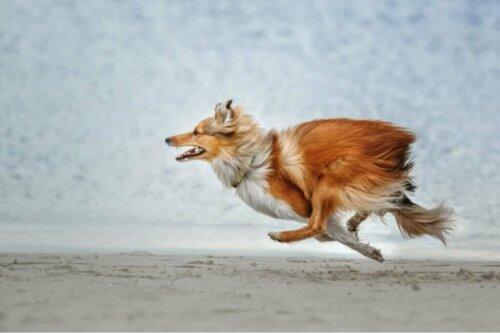 Hangi Köpek Irkının Kaçması Daha Muhtemeldir?