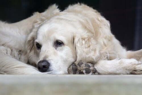 Hasta bir köpek.