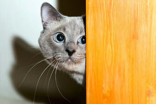 Kediler ve Havai Fişekler: Kediler Neden Yüksek Sesleri Sevmez?