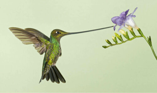 Kılıç Gagalı Sinek Kuşlarının Dezavantajları