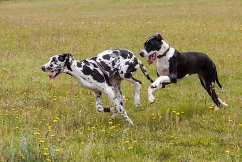 koşan iki iri köpek