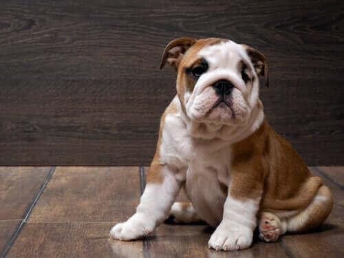 İngiliz Bulldog Irkı Hakkında Bilmek İstedikleriniz
