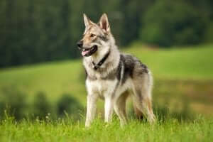 Köpekler ve kurtlar arasındaki benzerlikler ve farklılıklar