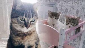 Kattarshians kedileri
