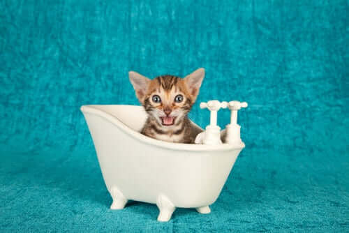 Kedinize banyo yaptırmayı öğrenmelisiniz.