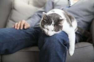 Kediler, sahiplerinin arkadaşlığını sever ve sahiplerinin üzerinde uyur.