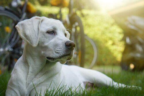 Köpekler Kemoterapi Alabilir Mi?