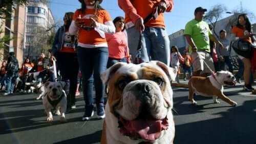 Yüzlerce Bulldog Rekor Kırmak İçin Geçit Düzenliyor