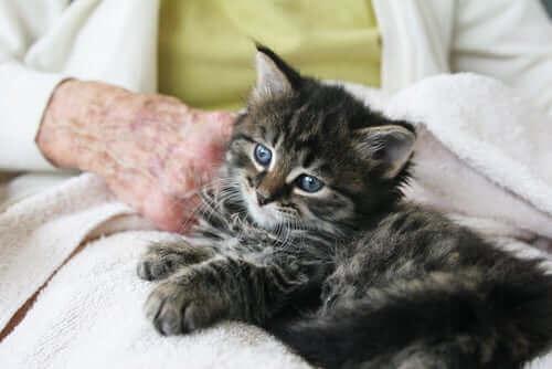 yaşlı insanın kucağında oturmuş, sevilen kedi