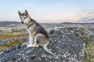 Kurtlar ve köpekler arasındaki benzerlikler ve farklılıklar