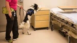 köpekler, hastalar, hastalara yardımcı olan köpekler