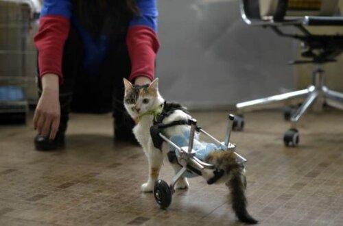 Tekerlekli protez bacaklar kullanan bir kedi.