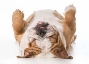 sırt üstü uyuyan bulldog