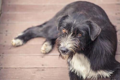 Bilişsel bozukluk sendromu olan köpek