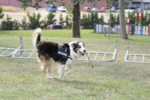 Kahraman köpek Albatrox